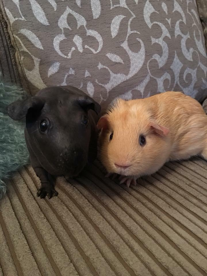 Buff boar and skinny pig