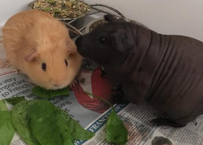 Buff boar re-homed to live with skinny pig