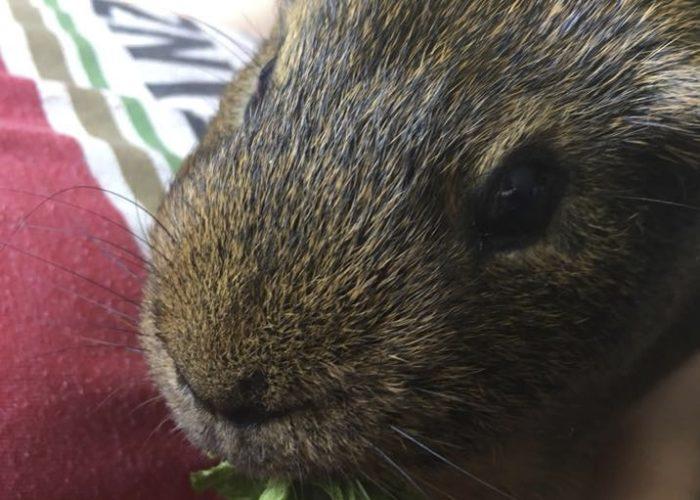 Pet Therapy Calm Guinea Pig