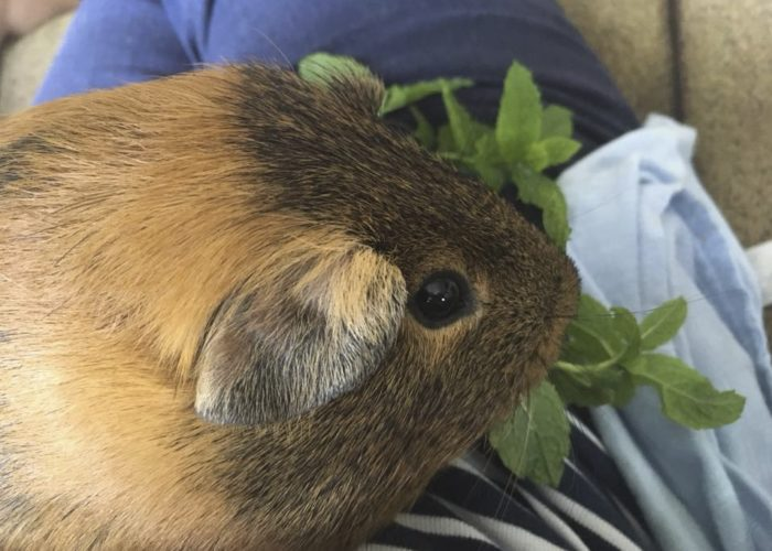 Guinea Pig Pet Therapy