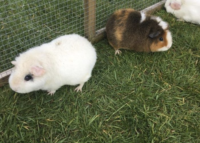 Guinea pigs eating grass in the run
