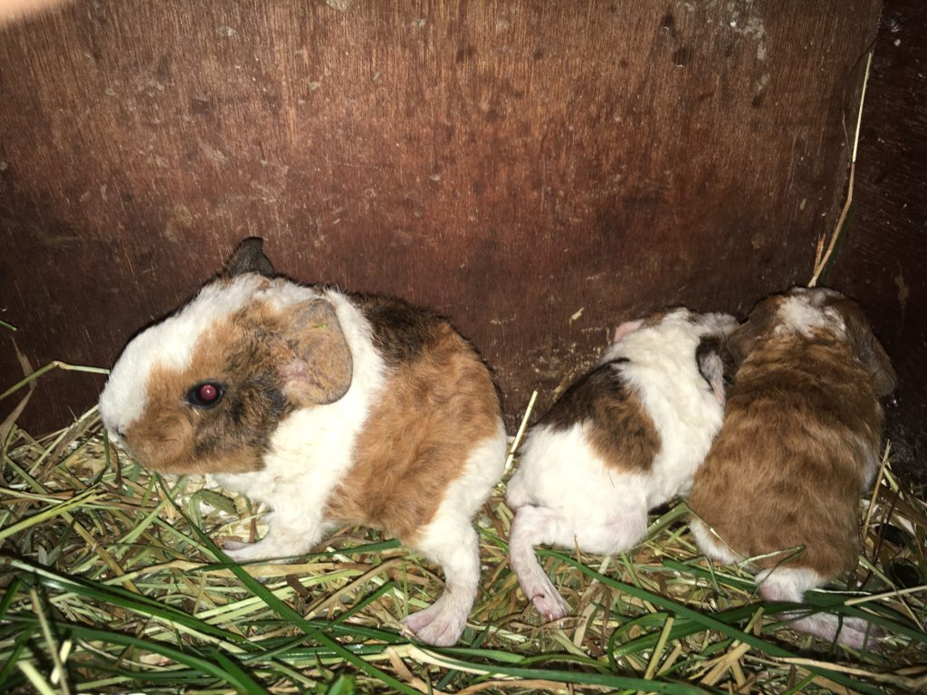 Jigsaw and Bernies Baby Piggies